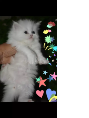 Pure Punch Kitten